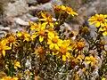 Thymophylla acerosa 2.jpg