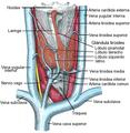 Thyroid2-es.png