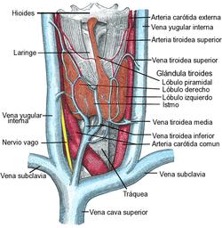 que es el istmo en la glandula tiroides