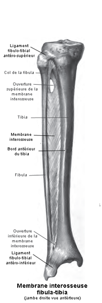 File:Tibia Fibula1.png