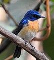 Tickell's Blue Flycatcher Cyornis tickelliae by Dr. Raju Kasambe DSCN0543 (8).jpg