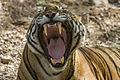 Tiger dentition Sultan(T72) Ranthambhore India 12.10.2014.jpg