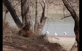 Tiger in Ranthambore 17.png