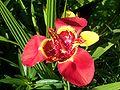 Tigridia flower 003.jpg