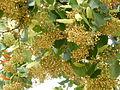 Tilia henryana-Jardin des Plantes 04.JPG