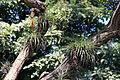 Tillandsia fasciculata (11137787853).jpg