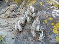 Tillandsia pueblensis (5740038882).jpg