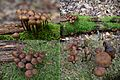 Tiny Mycena stipata (Bundelchloormycena) mushrooms at Warnsborn forest - panoramio.jpg