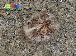 Tiny maretia heart urchin (Maretia planulata)