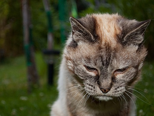 Tired 20-year-old cat the oldest cat in the world