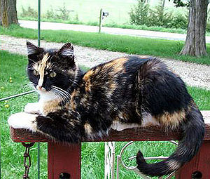 Gene expression - The patchy colours of a tortoiseshell cat are the result of different levels of expression of pigmentation genes in different areas of the skin.