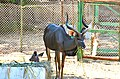 Tragelaphus strepsiceros at Giza Zoo by Hatem Moushir 1.JPG