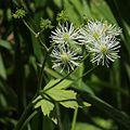 Trautvetteria caroliniensis var. japonica (flower and fruits).JPG
