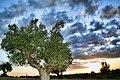 Tree (33318987).jpeg