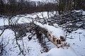 Tree felled by beavers in Yuntolovsky Reserve 2020-12-13-3.jpg
