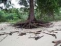 Tree roots at The Nyior - panoramio.jpg