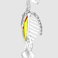 Triceps brachii muscle08.png