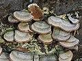 Trichaptum biforme 117835953.jpg