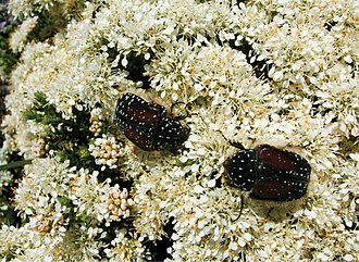 Sapindales - Trichostetha bicolor beetles feeding on flowers of Agathosma capensis (Rutaceae)