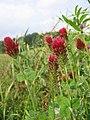 Trifolium incarnatum.jpg