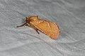 Triodia sylvina (36177525040).jpg