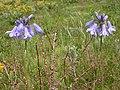 Triteleia grandiflora (3625579615).jpg
