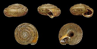 Trochulus hispidus - Five views of a shell of Trochulus hispidus