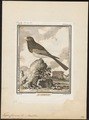 Trogon curucui - 1700-1880 - Print - Iconographia Zoologica - Special Collections University of Amsterdam - UBA01 IZ16700335.tif