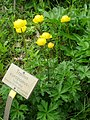 Trollius europaeus - Berlin Botanical Garden - IMG 8492.JPG