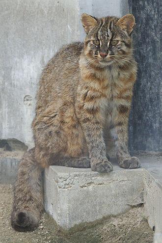Leopard cat - Tsushima leopard cat