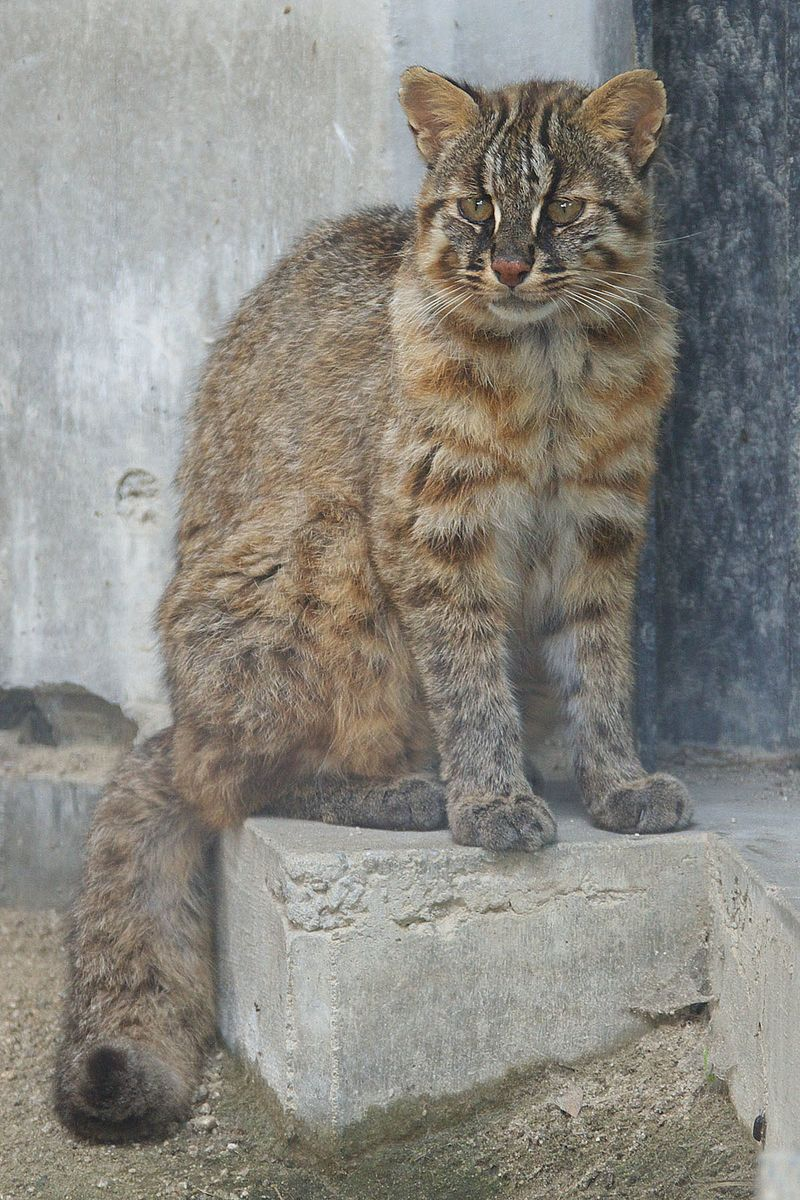 """Tsushima Cat 001"" by Pontafon - Photo created by Pontafon.. Licensed under CC BY-SA 3.0 via Wikimedia Commons - https://commons.wikimedia.org/wiki/File:Tsushima_Cat_001.jpg#/media/File:Tsushima_Cat_001.jpg"