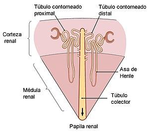 abundantes celulas epiteliales planas en flujo
