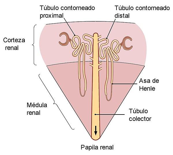 Túbulo renal - Wikiwand
