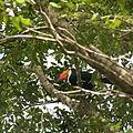 Tucano, um dos animais da fauna da região.JPG