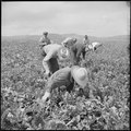 Tule Lake Relocation Center, Newell, California. Harvesting turnips. - NARA - 538306.tif