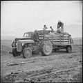Tule Lake Relocation Center, Newell, California. Seed potatoes are brought to the 500 acre farm at . . . - NARA - 538249.tif