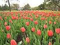 Tulipa Apeldoorn.jpg