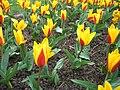 Tulipa kaufmanniana - tulipe Giuseppe Verdi - parc floral Paris.JPG