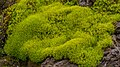 Tundra of Svalbard, densely growing moss.jpg