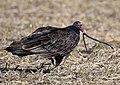 Turkey Vulture stalks, catches and eats live garter snake (29937232803).jpg