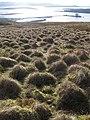 Tussocky Grass - geograph.org.uk - 372092.jpg