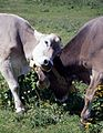 Two Cows - Alps, Italy - About 1994 02.jpg