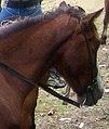 Ua Huka - Marquesan Horse - 20061114.jpg