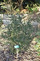 Ugni molinae - San Luis Obispo Botanical Garden - DSC06003.JPG