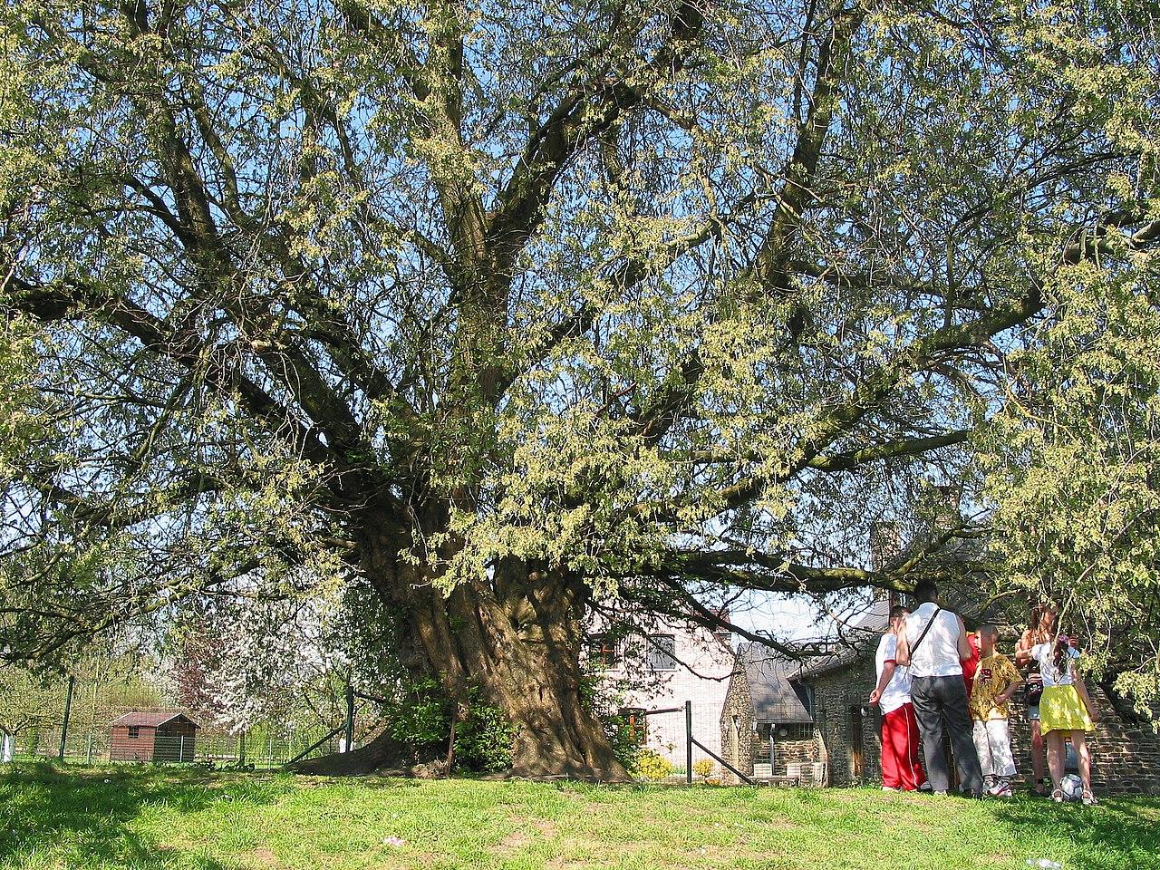 Olmo (Ulmus laevis) de gran porte, en Casteau (Bélgica). Su circunferencia es de 515 cm.