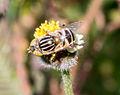 Unidentified fly on flower at Prambanan Temple Complex 2014-05-31 01.jpg