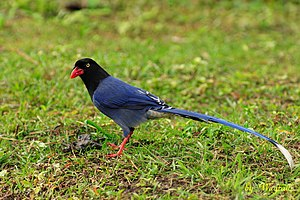 Taiwan blue magpie - Image: Urocissa caerulea