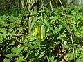 Uvularia grandiflora 2019-04-16 0314.jpg