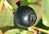 Vaccinium myrtillus - Bilberry - Maviyemiş 07.jpg
