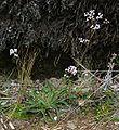 Valeriana prionophylla 1.jpg
